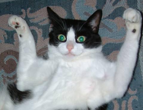 Stop à l'invasion des chats ! - Page 2 Chat-haut-les-mains