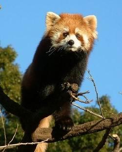 Le Panda rouge dans son arbre
