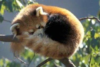 Firefox  - Page 2 Red-panda-boule