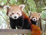 Firefoxes (pandas rouges) du zoo de Wellington